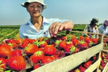 Українські заробітчани влітку їдуть до Європи збирати ягоди і продавати шаурму
