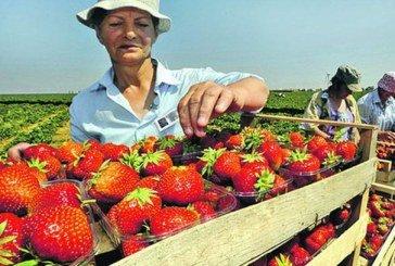 Збір полуниці в Польщі під загрозою: не вистачає українських рук