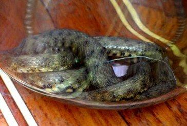 Тернопільських чиновників налякала 70-сантиметрова змія