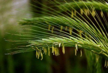 Снилося жито… Кажуть – до щастя