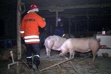 Як МНСники Тернопільщини рятували свиней від вогню (ФОТО, ВІДЕО)