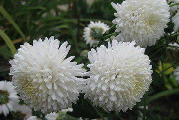 Три білі хризантеми