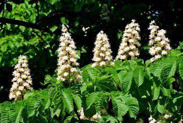 Цвіт каштана стане у пригоді для лікування багатьох хвороб