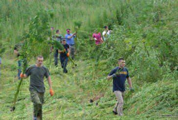 Майже вся поліція Збаражчини вже кілька днів поспіль тоннами косить та знищує посіви коноплі (ФОТО)