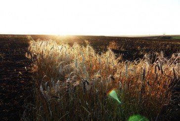 На Гусятинщині згоріла в полі пшениця (ФОТО)