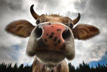 На Кременеччині виявили сказ великої рогатої худоби