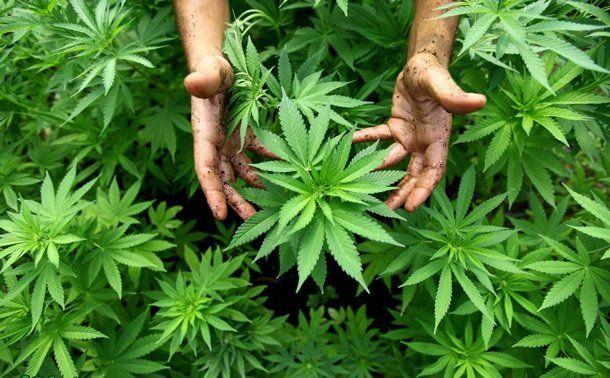 """На Збаражчині відтепер почали """"культивувати"""" не тільки мак, але й марихуану"""
