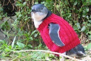 Австралійка 18 років в'яже светри для пінгвінів