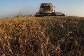 Скільки зерна намолотили на Тернопільщині?
