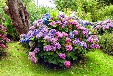 Сад прикрасить гортензія