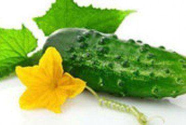 Врожай огірків залежить від коріння