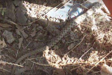 У Тернополі між будинками виявили чималу змію (ВІДЕО)