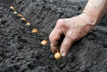 Садимо цибулю… восени