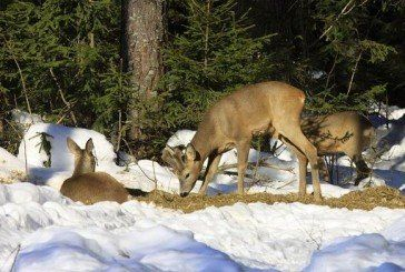 У мисливських угіддях Тернопільщини до лютого рахуватимуть диких тварин