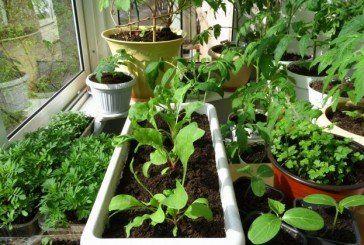 Вітаміни з... підвіконня: мікрозелень можна  виростити за 1-2 тижні