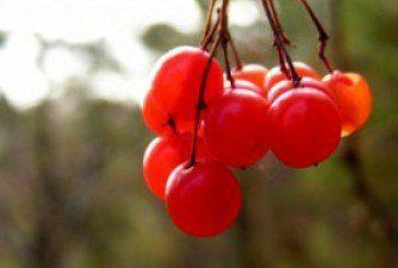 Калина: користь і шкода для організму