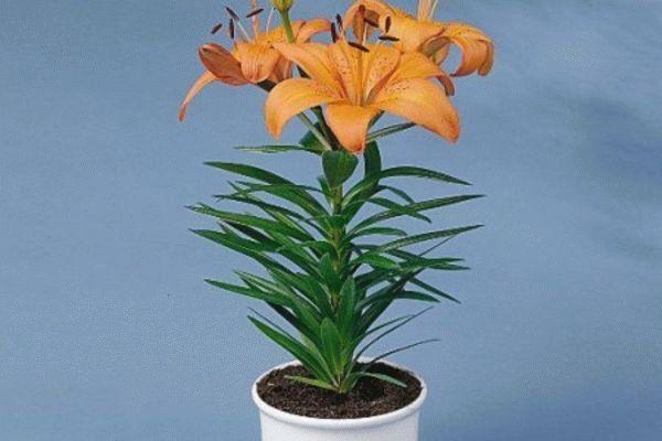 Кімнатні рослини, що несуть… небезпеку