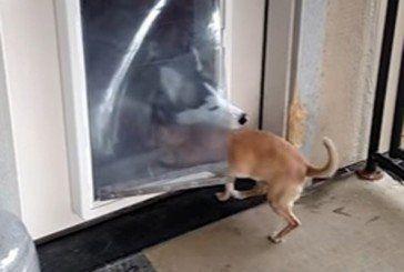 Добрий хаскі допоміг товаришеві увійти в будинок (ВІДЕО)