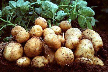 Кілограм картоплі коштуватиме 40 гривень?