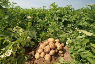Фіолетова й рожева – екзотичні сорти картоплі стійкі до хвороб і добре зберігаються