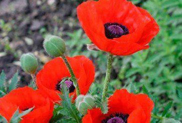 Сім фактів незаконного вирощування коноплі виявили на Тернопільщині правоохоронці