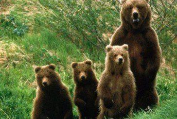 Голодні ведмеді крадуть у румунів їжу