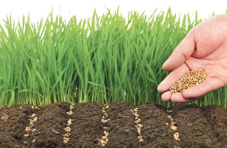 Зібрали врожай – сіємо гірчицю