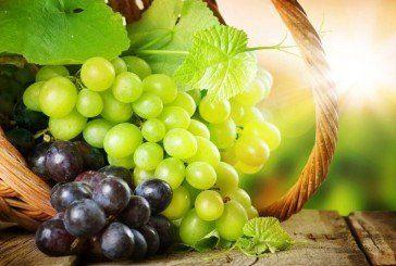Секрети гарного врожаю винограду: чим обробляти, підживляти та як боротися із шкідниками