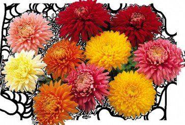 Хризантеми: ці квіти – королеви у саду