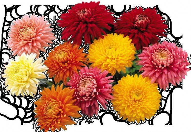 Щоб у домівці квітли хризантеми