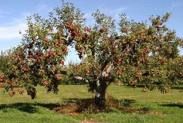 Вдовина яблуня