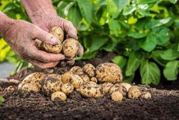 Різана картопля дає кращий врожай