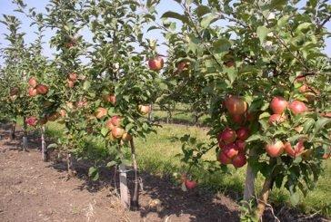 Ґрунт також втомлюється: на місці, де викорчували яблуню, лише через 4-5 років можна саджати плодові дерева
