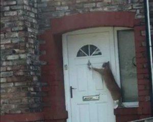 """Кота навчили """"по-англійськи"""" стукати у двері (ВІДЕО)"""