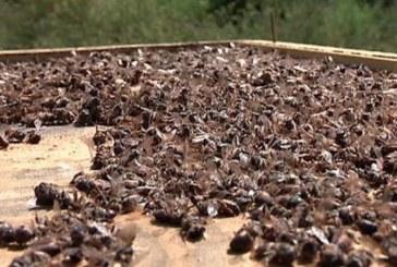 На Тернопільщині внаслідок скроплювання хімікатами полів підприємствами області масово гинуть бджоли