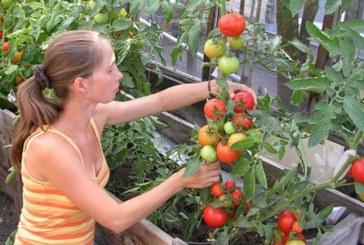 Пасинкуємо помідори вчасно