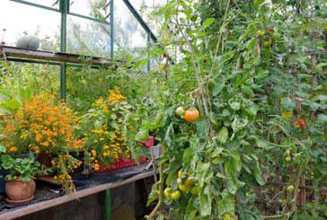 Що посадити разом з помідорами?