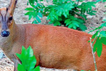 У столичному зоопарку запрошують подивитися на оленів що гавкають (ВІДЕО)