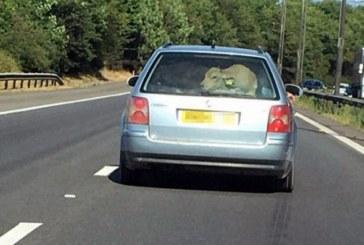 Корову перевозили на задньому сидінні авто (ФОТО)