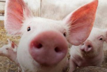 """Вчені вперше пересадили свиням легені """"з пробірки"""", – дослідження"""