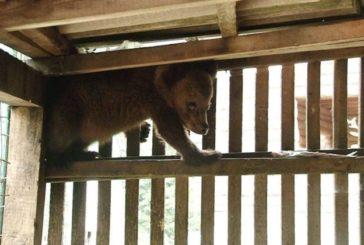 У Яремчі селяни знайшли перелякане ведмежа, яке боялося злізти з дерева