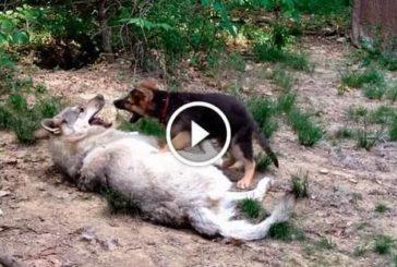 Цуценя вівчарки зустрів вовка. Подивіться, що з ним сталося! Відео