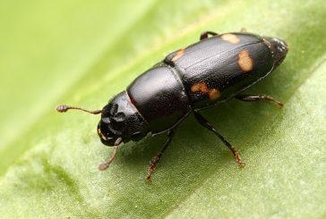 Кременеччину заполонили жуки: фахівці з'ясували, що це за комахи і чи можуть нашкодити людям