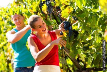 Збираємо врожай винограду! І не забуваємо про догляд і полив