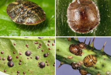 Небезпечна щитівка: ця комаха шкодить і овочам на грядках, і кімнатним рослинам