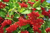 Калина, глід і шипшина: їх варто посадити у своєму саду