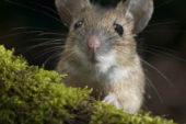 Миші не люблять м'яту і ромашку