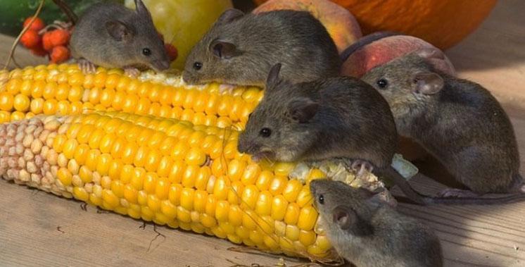 Небезпечна хвороба від мишей: за пів року в Україні зареєстрували 27 випадків захворювання на лептоспіроз