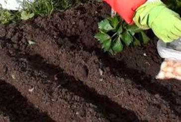 Садимо цибулю на зиму