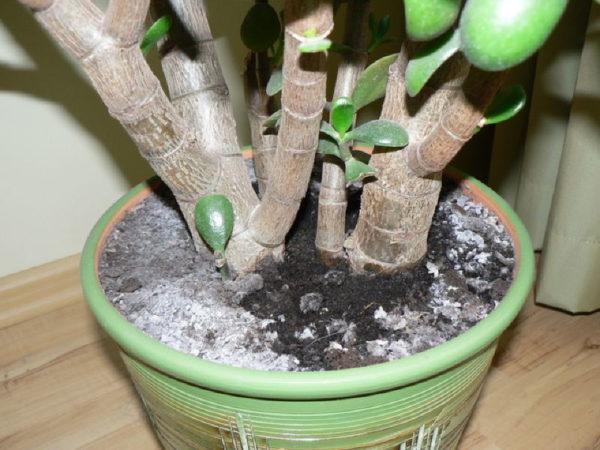 Від цвілі врятує чайне дерево